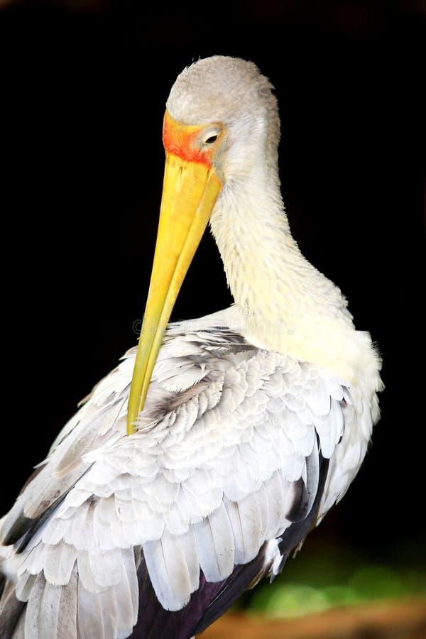 鸟鹳 库存图片