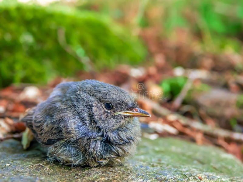 鸟黑色redstart Phoenicurus ochruros逗人喜爱的小鸡  库存照片