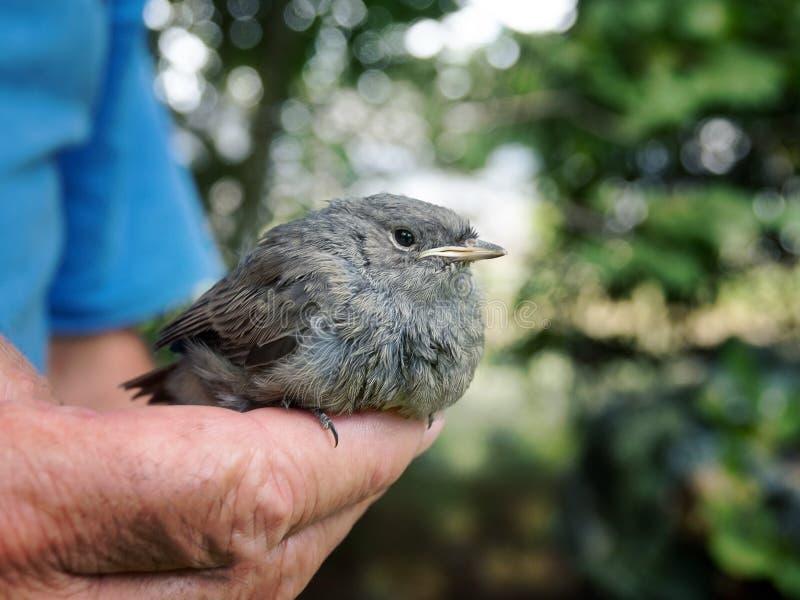 鸟黑色redstart Phoenicurus ochruros逗人喜爱的小鸡  免版税库存照片