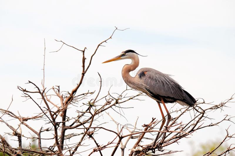 鸟,伟大蓝色的苍鹭的巢,佛罗里达 库存图片