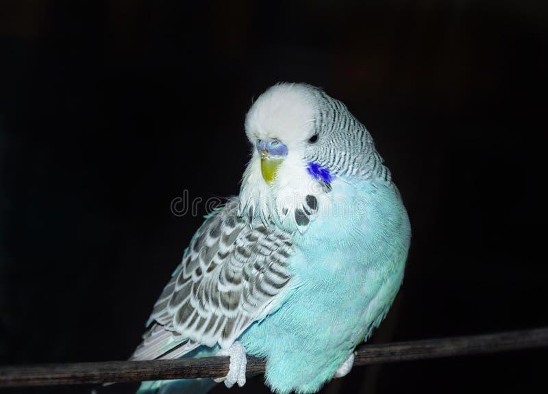 鸟,在一架黑暗的飞机上的一只青色鹦鹉 库存图片