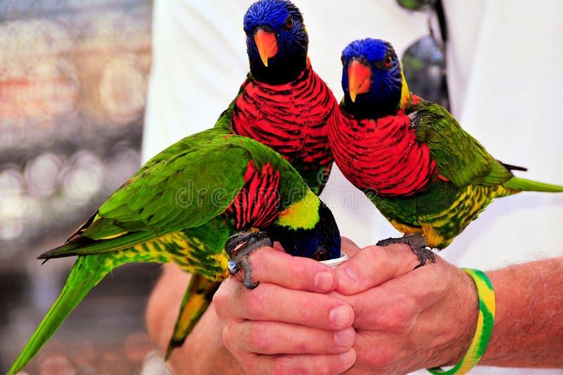 鸟,彩虹Lorikeets 库存图片