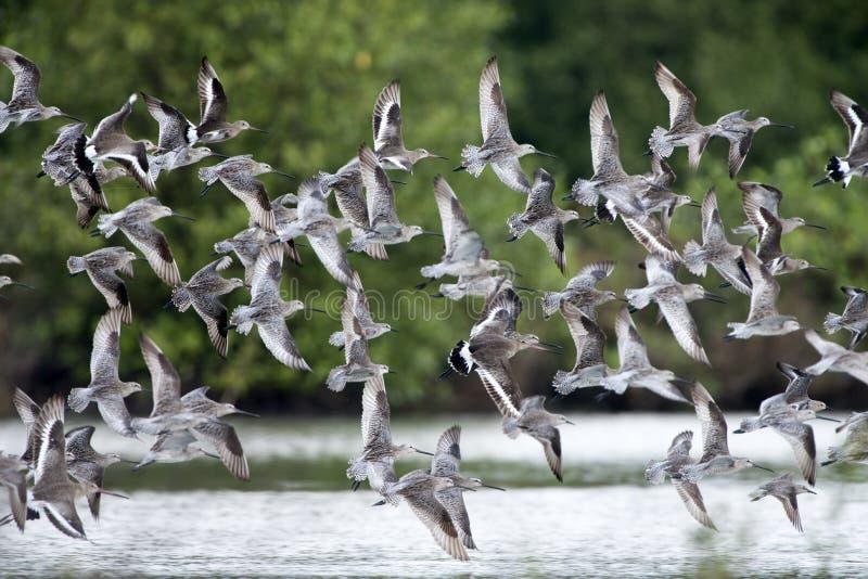鸟,泰国,迁移鸟鸟亚洲长嘴半蹼鹬和黑被盯梢的黑尾豫 图库摄影