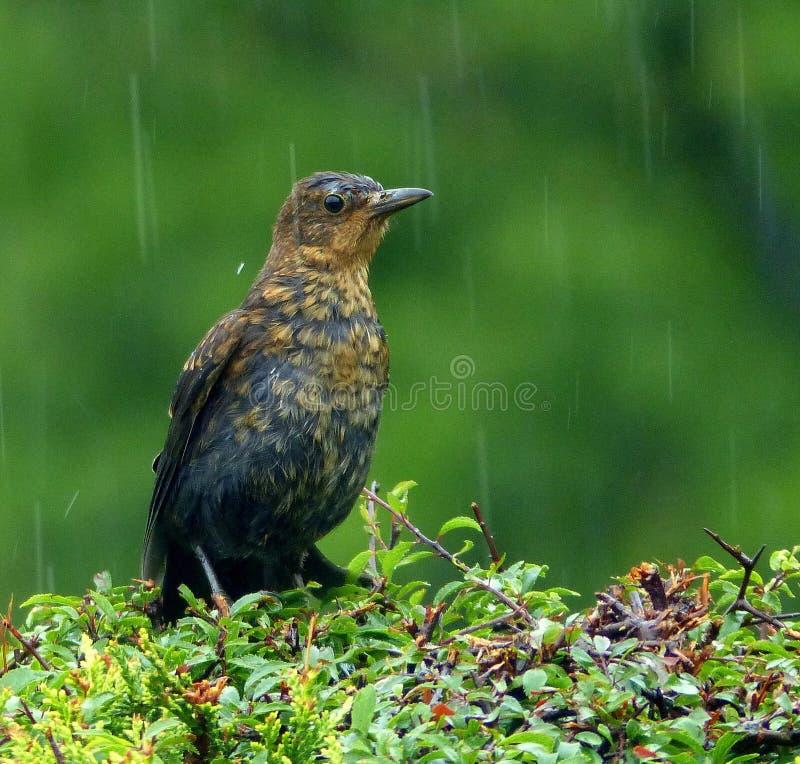 鸟,湿,沮丧,在雨中 库存照片