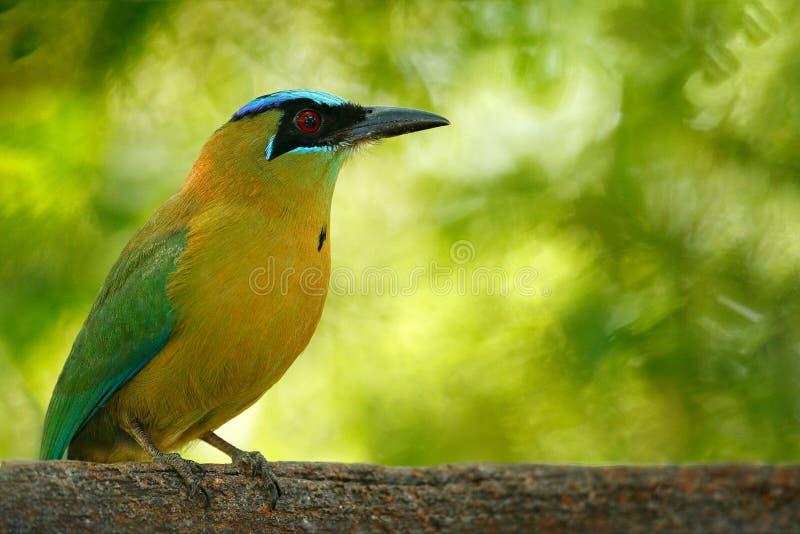 鸟,热带自然 青被加冠的Motmot, Momotus momota,好的大狂放的自然,美好的色的森林背景画象, 免版税库存照片