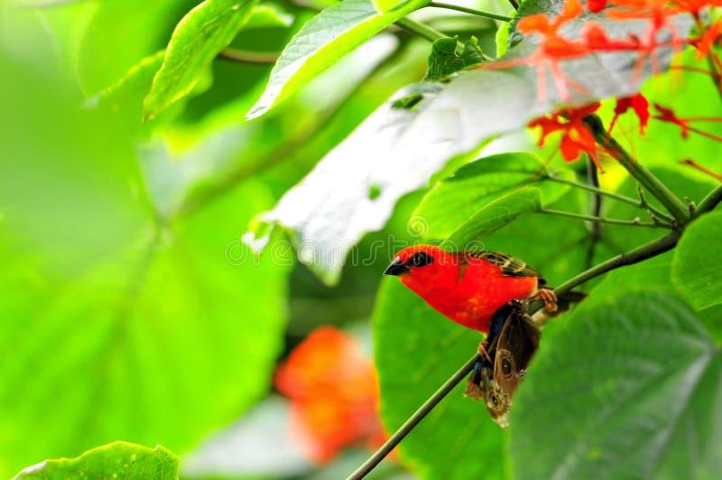 鸟,马达加斯加红色fody 免版税库存图片
