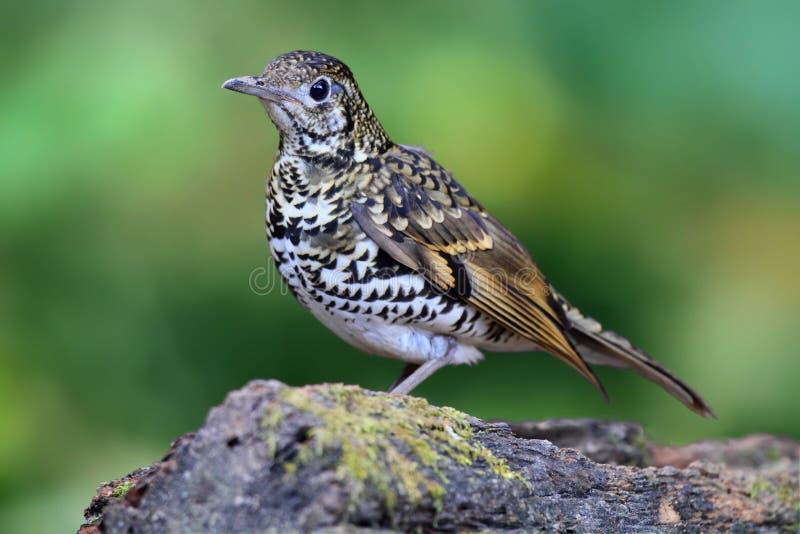 鸟,鳞状鹅口疮brid在注册站立森林 免版税库存图片