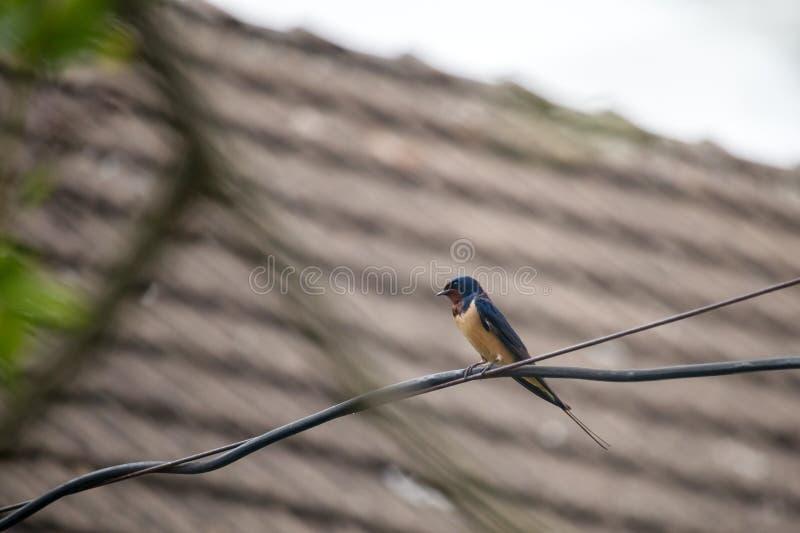 鸟 — 坐在铁丝上的燕子 免版税库存图片
