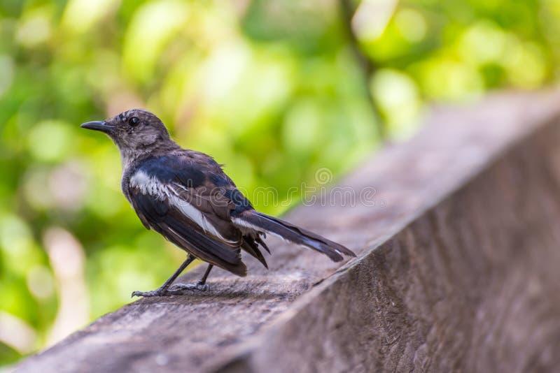 鸟(东方鹊知更鸟)在狂放的自然 库存图片