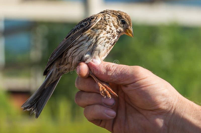 鸟类学家审查鸟 免版税图库摄影