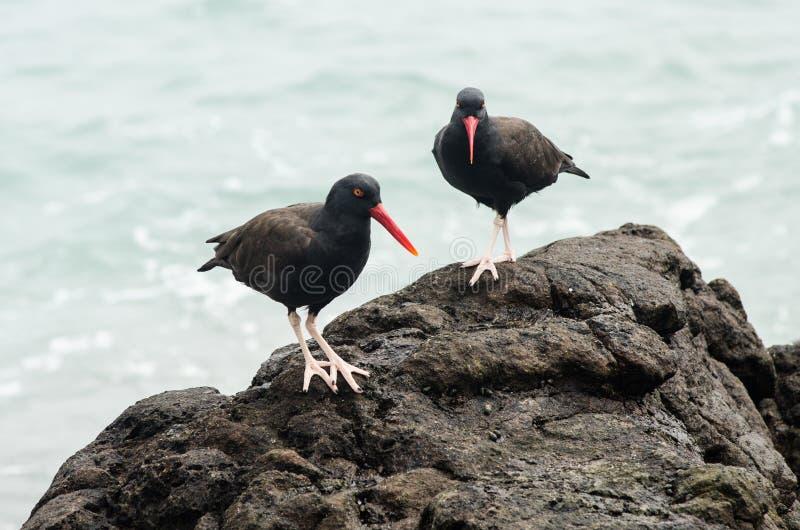鸟--牡蛎Negruzco--在海的边缘的岩石 免版税库存照片