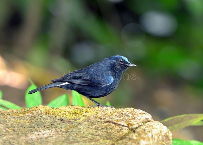 鸟(白被盯梢的罗宾),泰国 库存照片