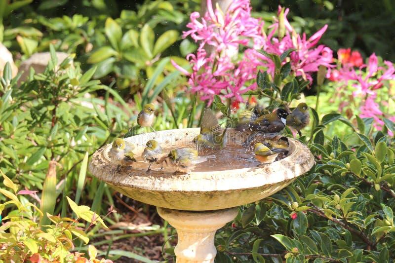 鸟浴的澳大利亚人Silvereyes 图库摄影