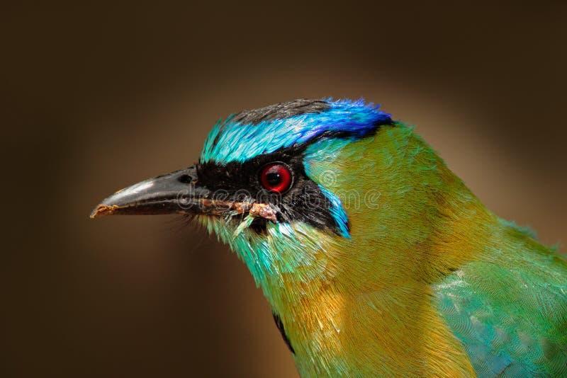 鸟细节画象与蓝色焰晕的 好的大鸟画象青加冠了Motmot, Momotus momota,狂放的自然,伯利兹 Wildlif 免版税图库摄影