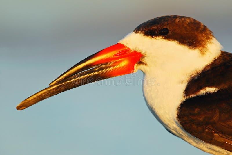 鸟画象与大票据的 黑漏杓, Rynchops尼日尔,美丽的燕鸥在水中 在佛罗里达海岸的黑漏杓,美国 免版税库存图片