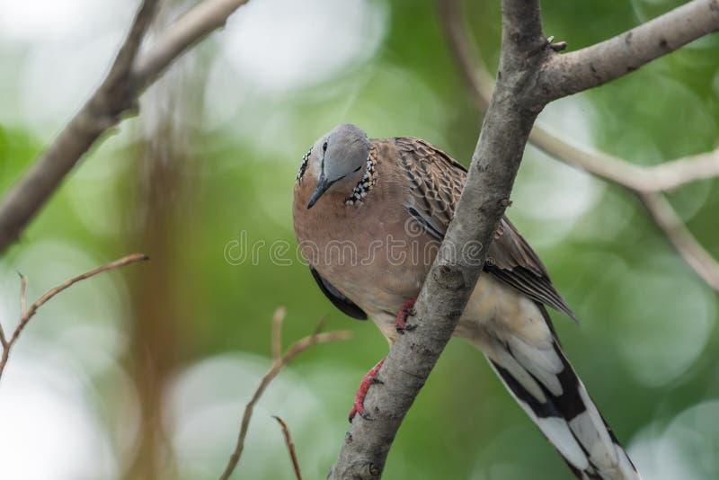 鸟(鸠、鸽子或者消歧)在自然 库存照片