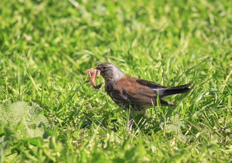 鸟黑鹂在绿色草甸充分的额嘴桃红色蠕虫f会集了 免版税库存照片