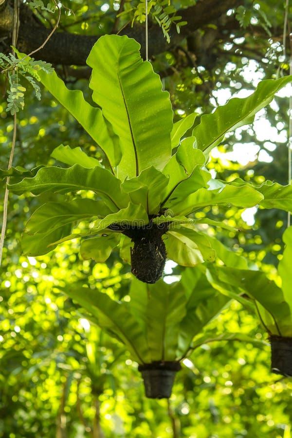 鸟` s垂悬在树下的巢蕨 图库摄影