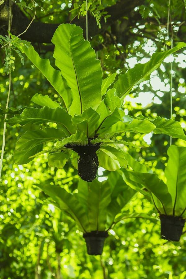 鸟` s垂悬在树下的巢蕨 库存照片