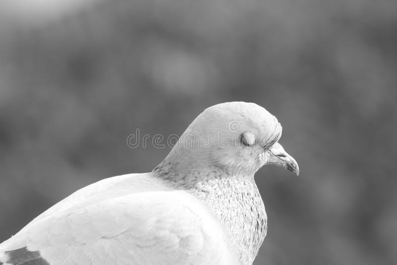 鸟` s外形:鸽子闭上的` s眼睛 免版税库存照片