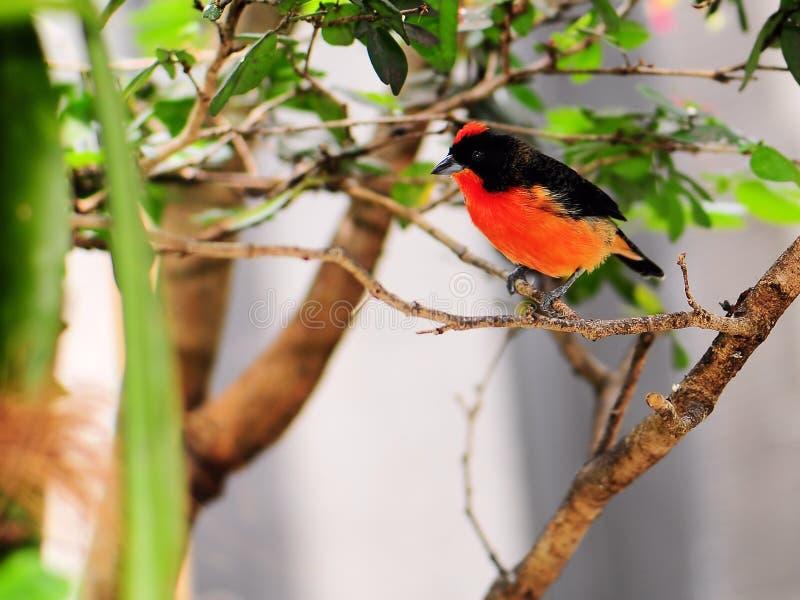 鸟breasted绯红色雀科 免版税库存图片