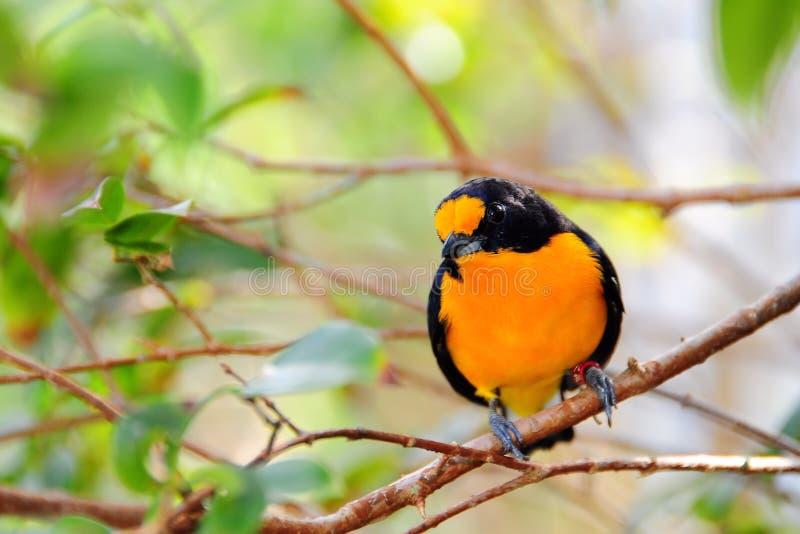 鸟euphonia朝向天鹅绒 免版税库存照片