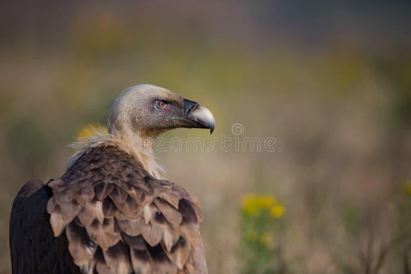 鸟fulvus欺骗lipetsk牺牲者俄国动物园 保加利亚的狂放的本质 自由本质 r Rhodopes 大鸟 山在保加利亚 e 免版税库存图片