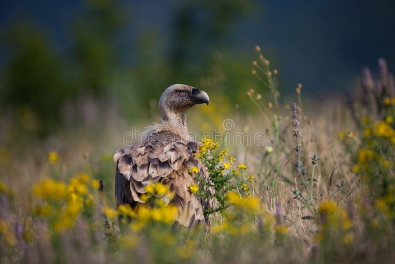 鸟fulvus欺骗lipetsk牺牲者俄国动物园 保加利亚的狂放的本质 自由本质 r Rhodopes 大鸟 山在保加利亚 e 库存照片