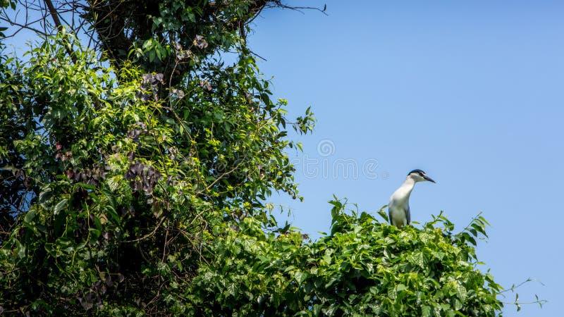 鸟Nycticorax Nycticorax,在树的黑被加冠的夜鹭属 免版税图库摄影