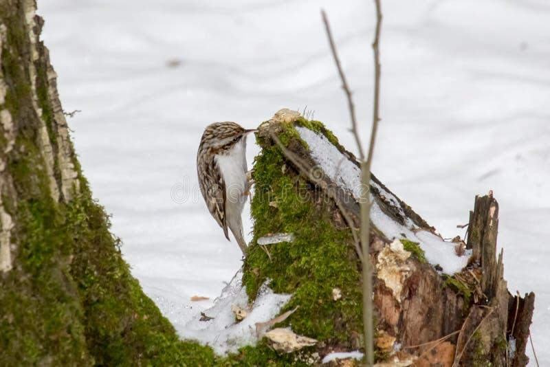 鸟treecreeper 库存照片
