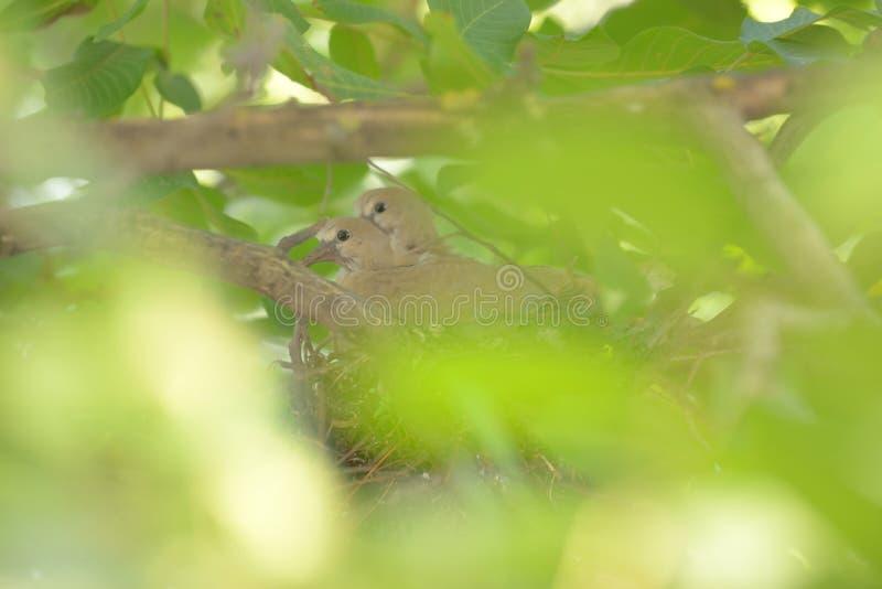 鸠在巢的斑鸠decaocto 库存照片