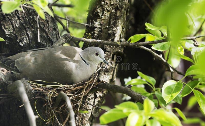 鸠在巢的舱口盖鸡蛋 免版税库存照片