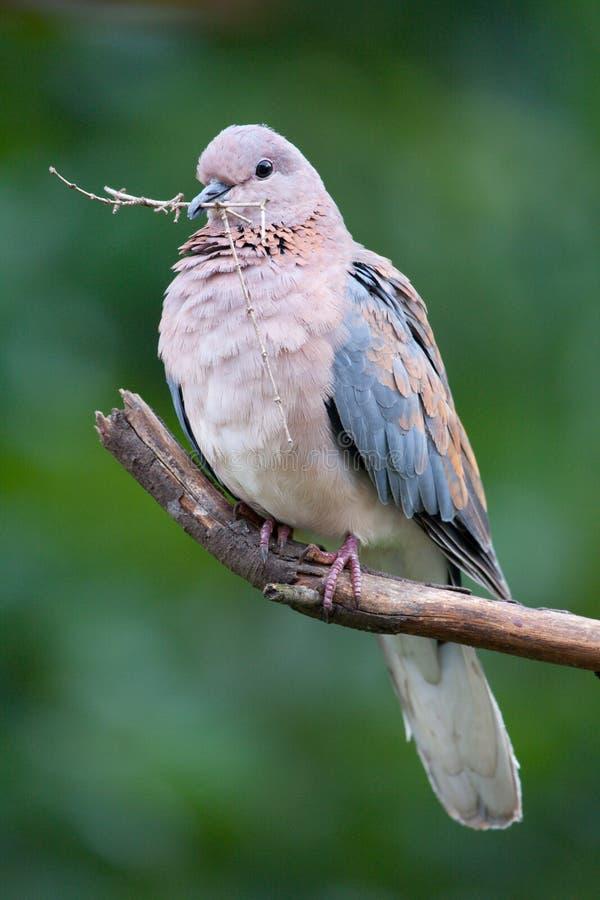 鸠笑的senegalensis斑鸠 免版税库存照片