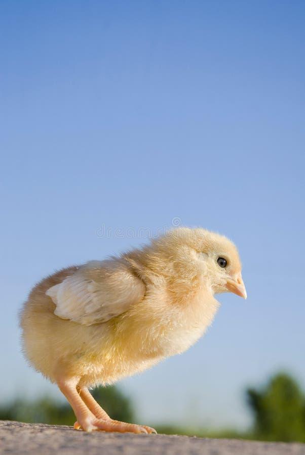鸡一点 免版税库存照片