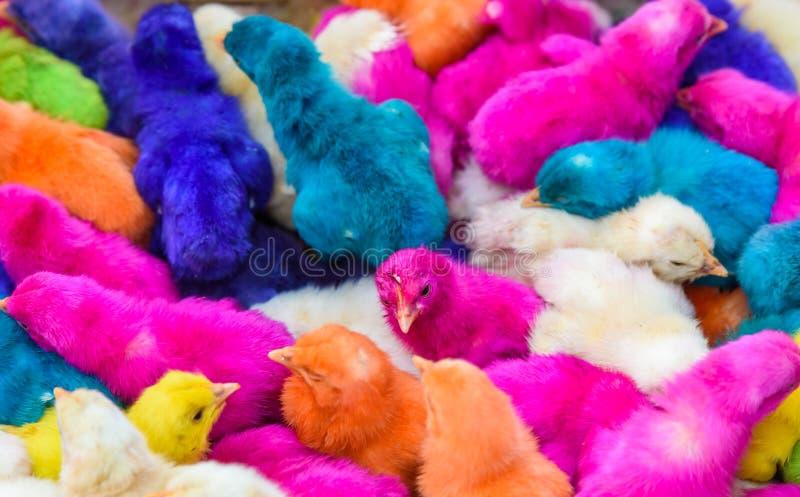 鸡上色了婴孩 一个小组滑稽,五颜六色的复活节小鸡 图库摄影