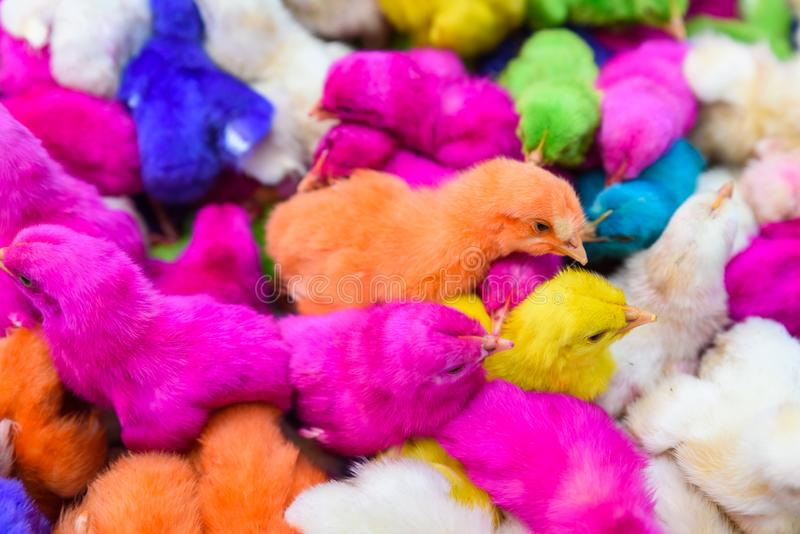 鸡上色了婴孩 一个小组滑稽,五颜六色的复活节小鸡 免版税图库摄影