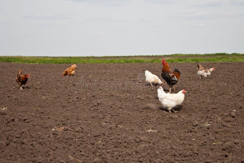 鸡在菜园里 库存照片