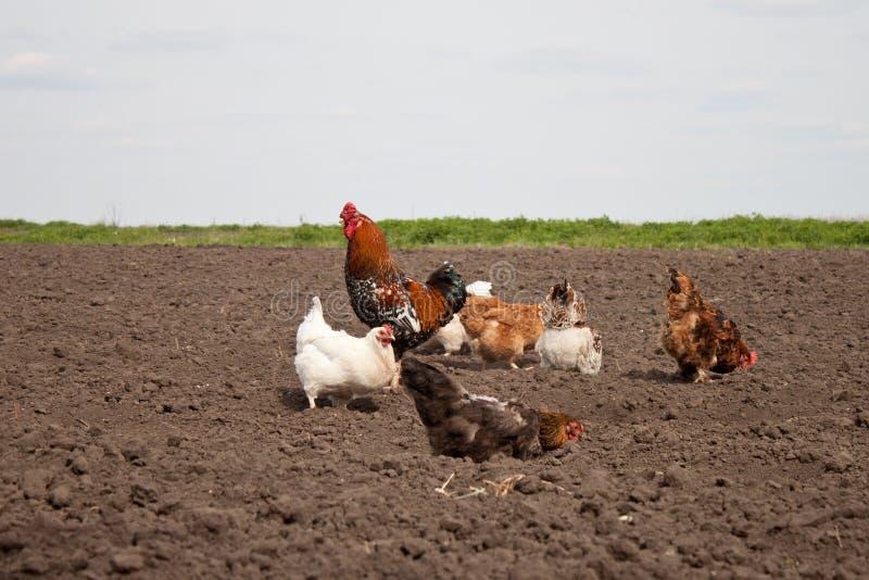 鸡在菜园里 图库摄影