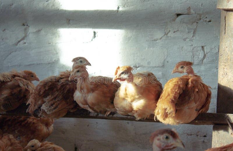 鸡坐在鸡舍的一根棍子 免版税库存照片