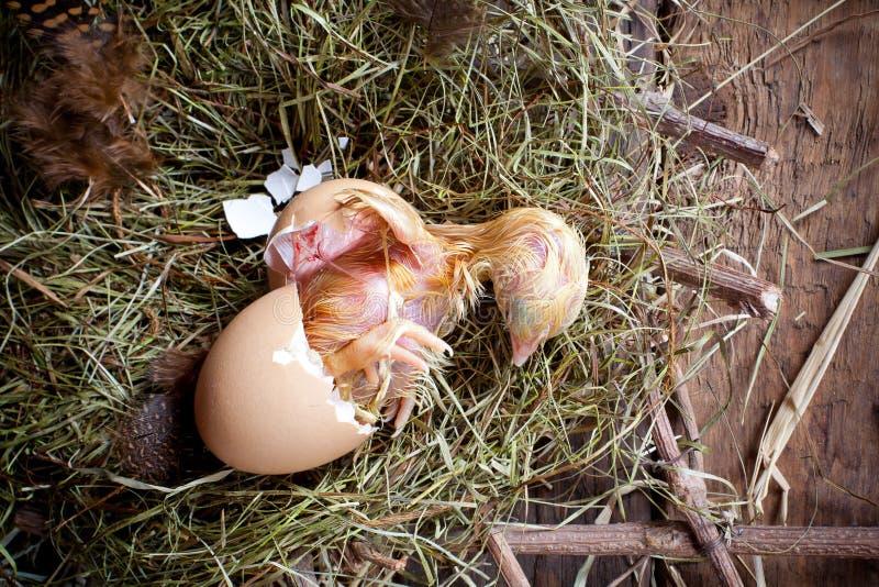鸡孵化 免版税库存照片