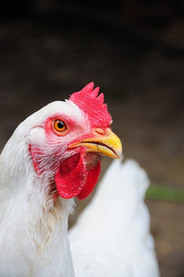 鸡接近的白色 免版税库存图片