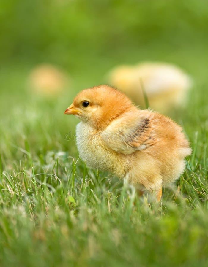 鸡早期的春天 库存照片