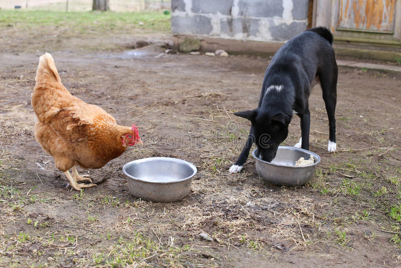 鸡本质上与狗的 图库摄影
