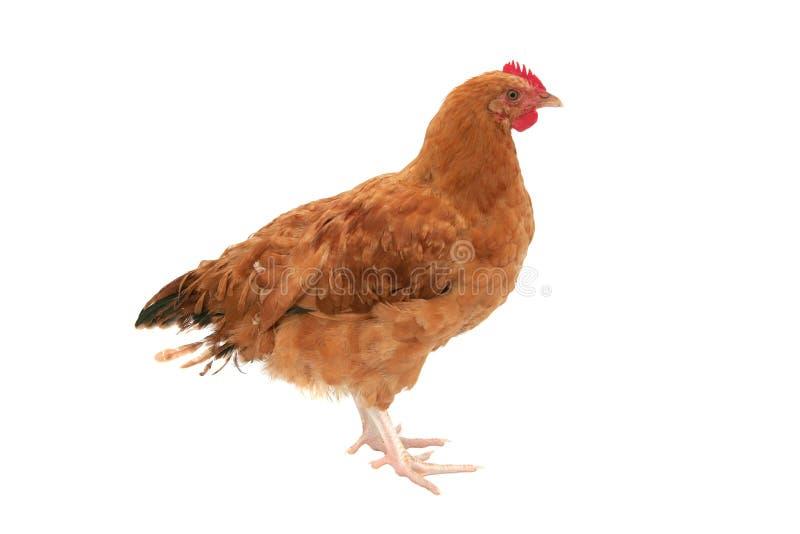 鸡查出 免版税图库摄影