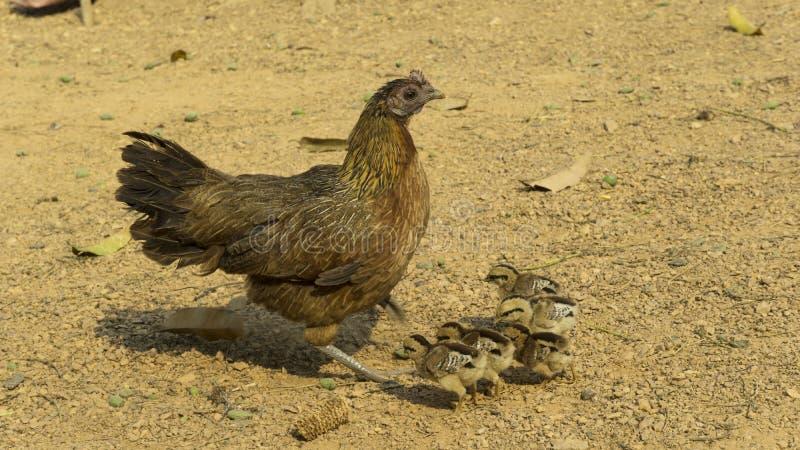 鸡母鸡和小鸡 免版税库存照片