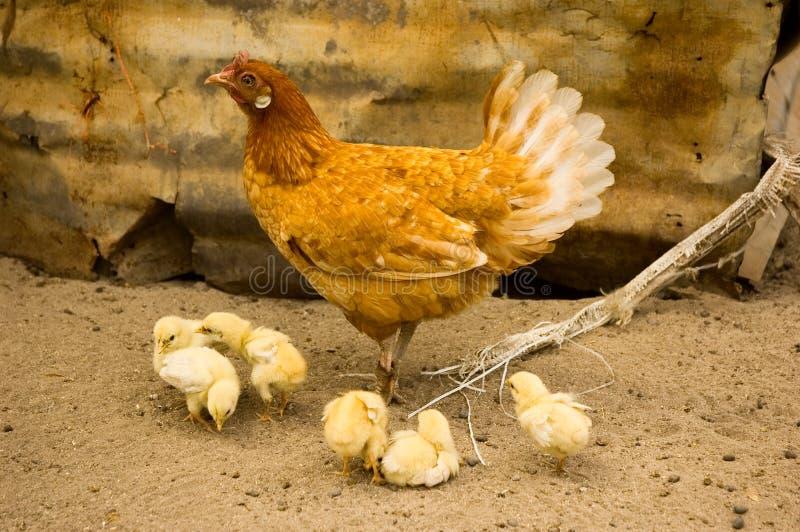 鸡母鸡母亲 图库摄影