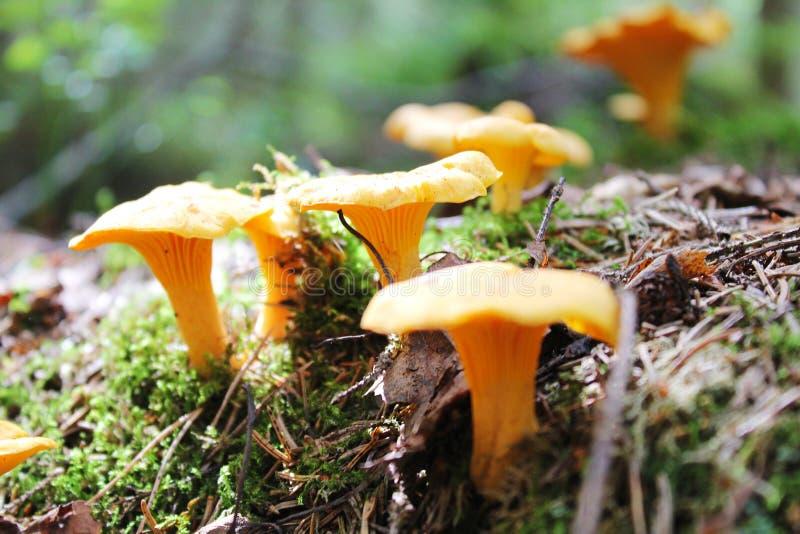 鸡油菌属cibarius黄蘑菇,金黄黄蘑菇,girolle -可食的蘑菇 在自然环境的真菌 库存照片
