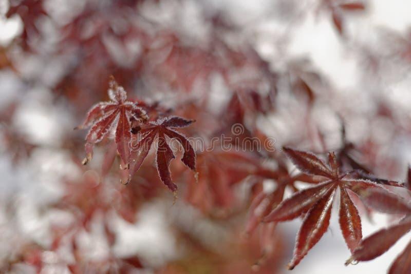 鸡爪枫在冬天 库存照片