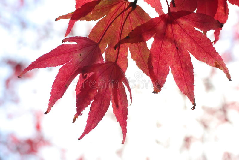 鸡爪枫红色结构树 图库摄影