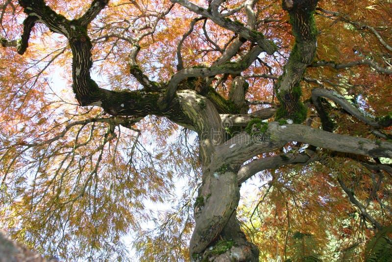 鸡爪枫结构树 库存图片